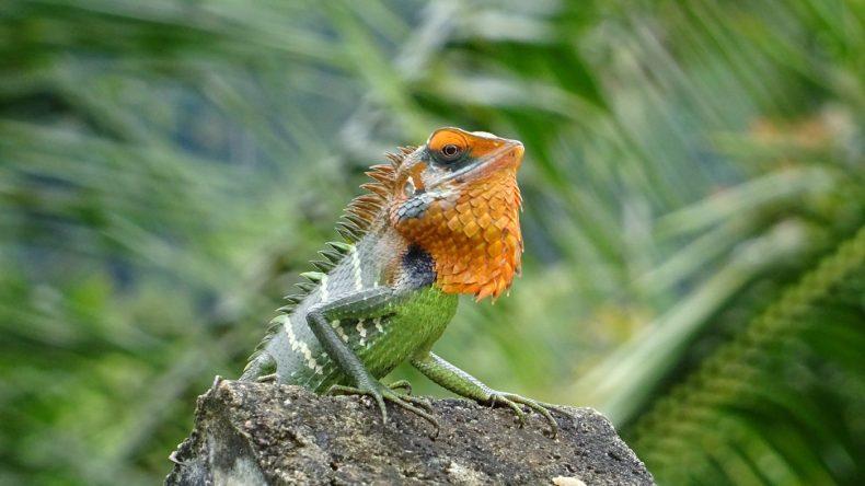Ein Leguan im Sinharaja Rain Forest