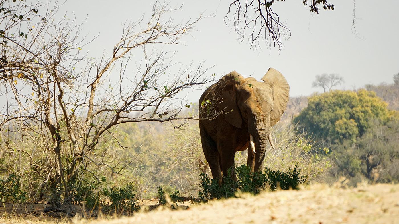Elefantenbeobachtung im Kruger Nationalpark