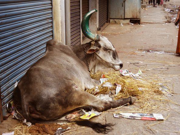 Überall in der Stadt zu finden: Kühe!