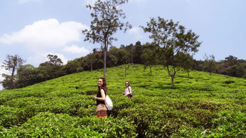 Grün, grüner, Teeplantage