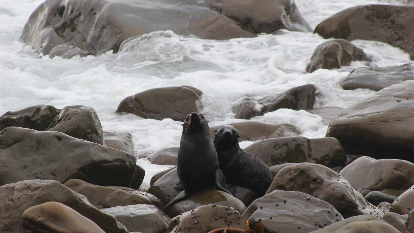 Bei einem Abstecher nach Kaikoura entdecken wir an einem kleinen Wasserfall zwei junge Robbengeschwister und folgen Ihnen bis zum Meer.