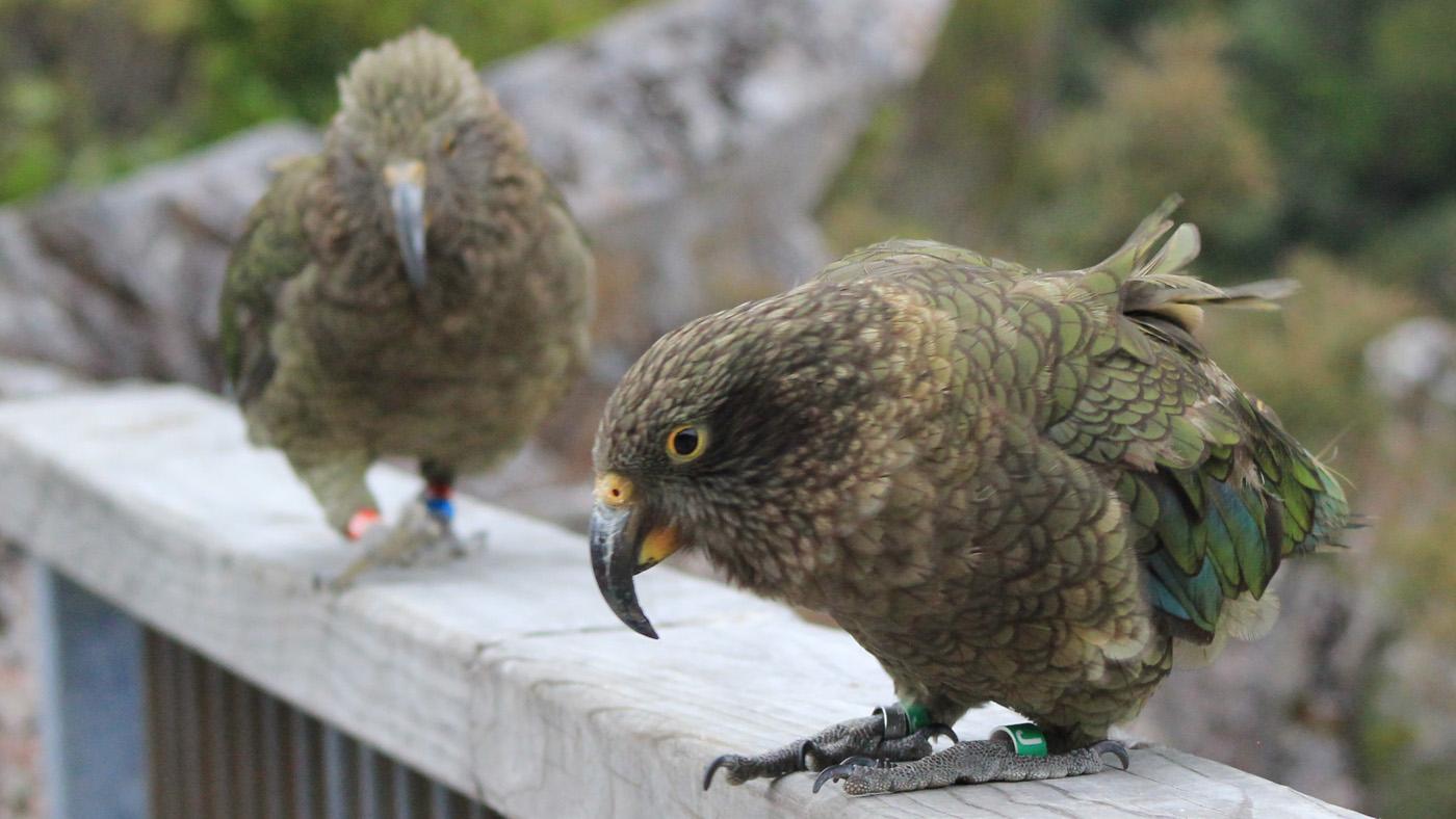 Die cleveren Kea Papageien am Arthurs Pass sind handzahm...zumindest wenn Sie etwas zu futtern wittern.