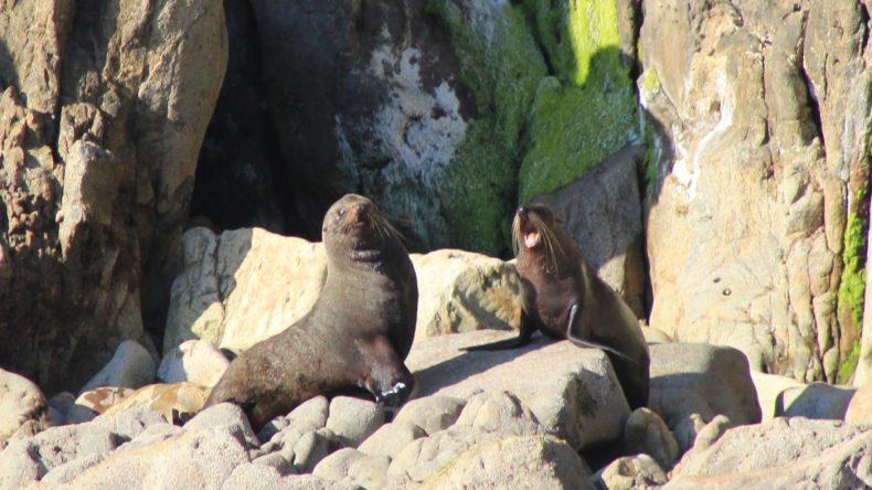 Mit etwas Glück kann man rund um den Paritutu Rock spielende Seehunde beobachten.