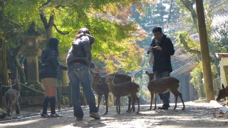 Eine weitere Attraktion von Nara sind die frei lebenden und sehr zutraulichen Sika-Hirsche.