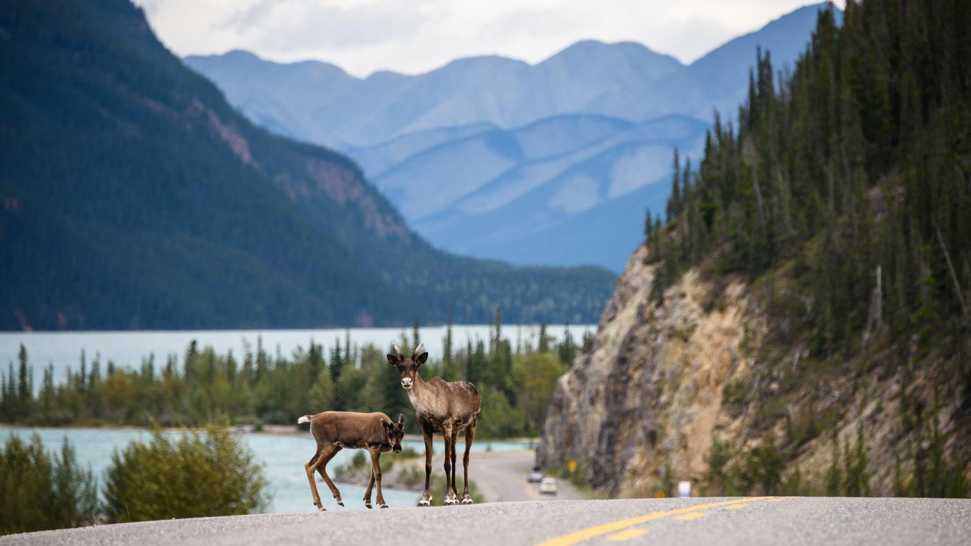 Wildtiere können auch am Straßenrand lauern