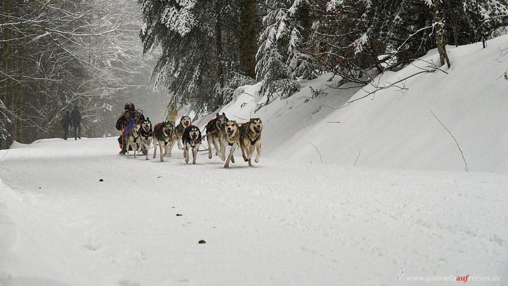 Schlittenrennen Schwarzwald