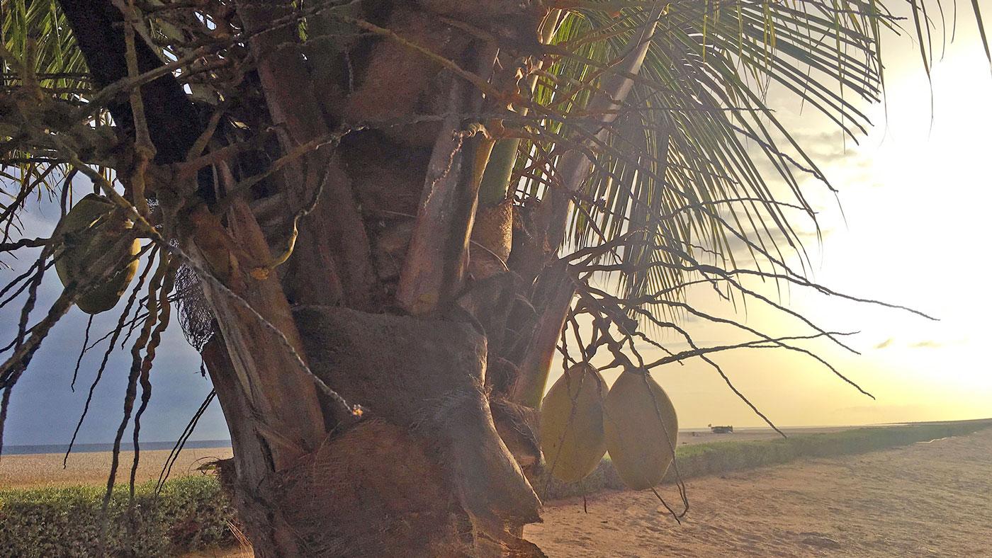 """Kokosnüsse, Palmen, Strand: Diese traumhaft schöne Aussicht genießen Urlauber im Hotel """"RIU Touareg"""" auf der Insel Boa Vista."""