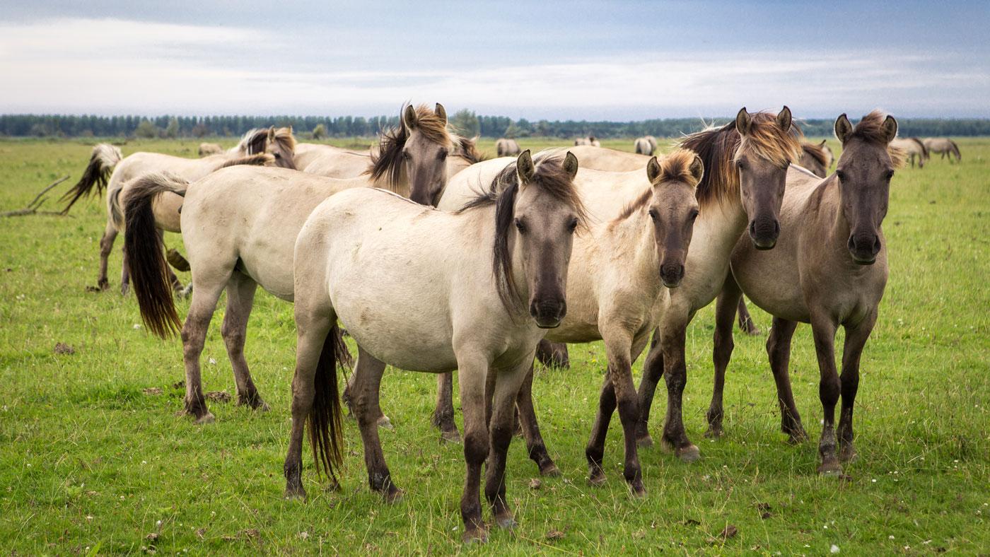 Wildpferde im Sumpfgebiet Oostvaardersplassen (Copyright: Visit Flevoland)