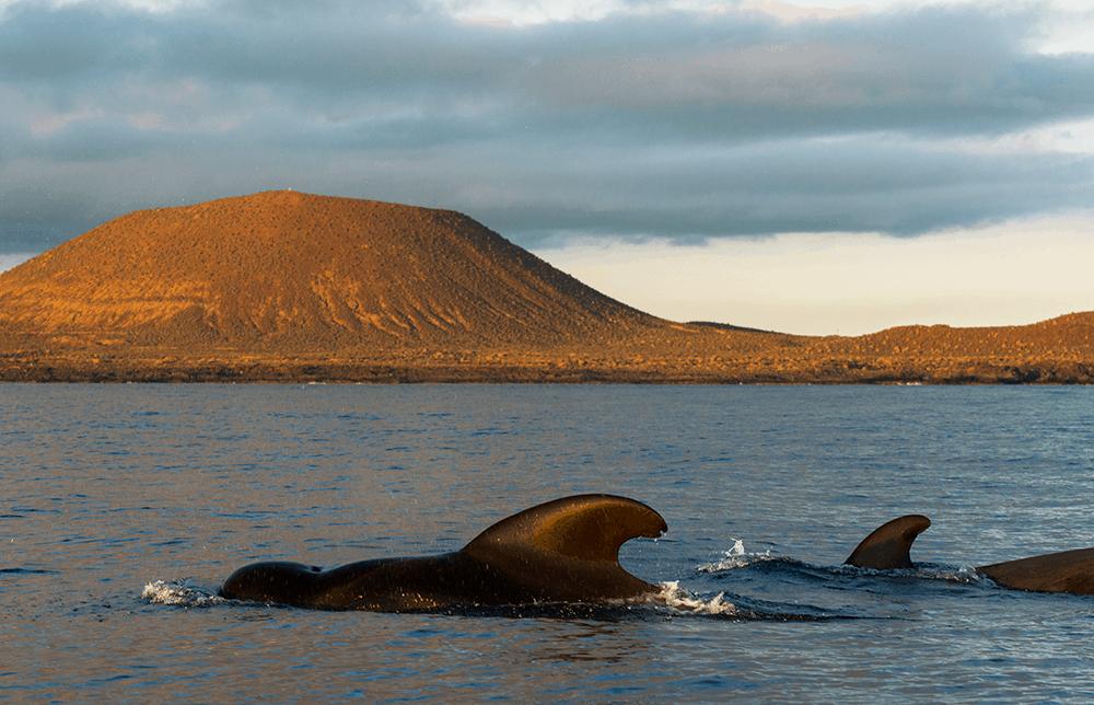 26 der weltweit 86 Walarten gibt es in den Gewässern der größten Kanarischen Insel - so viel wie kaum anderswo auf der Welt!