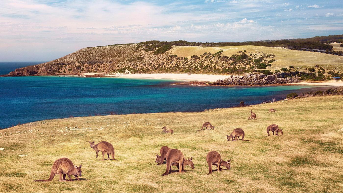 Augen auf! Auf dem Explorers Way können euch natürlich auch Kängurus über den Weg laufen. (Copyright: Tourism SA)