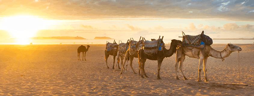 Kamel Karawane am Strand von Essaouira, Agadir, Marokko