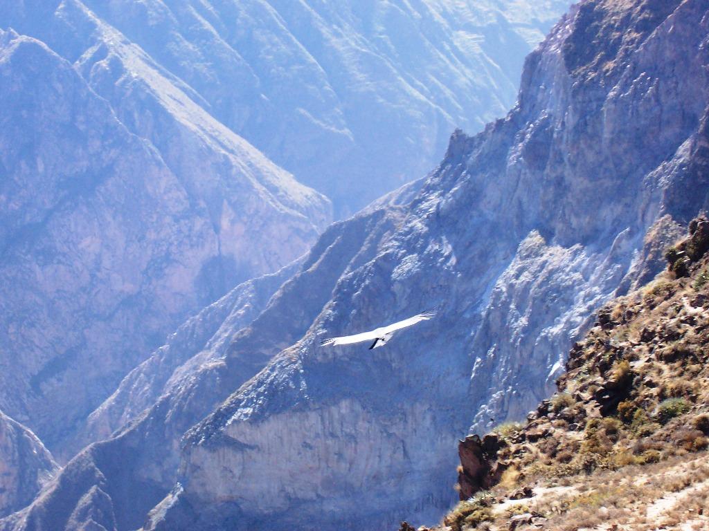 Condor im Colca Canyon