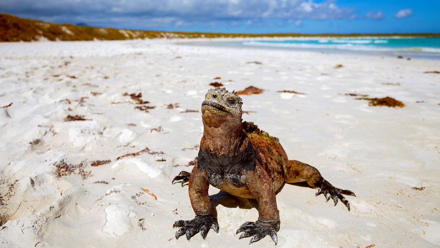 Meerechse auf den Galapagos-Inseln