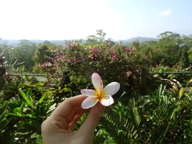 Frangipani - eine der Blumen, die man am meisten auf Bali sieht.