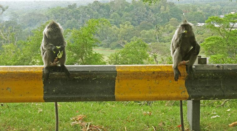 Die Affen genießen ihr Futter.