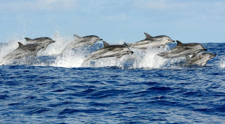 Delfine Azoren Inseln