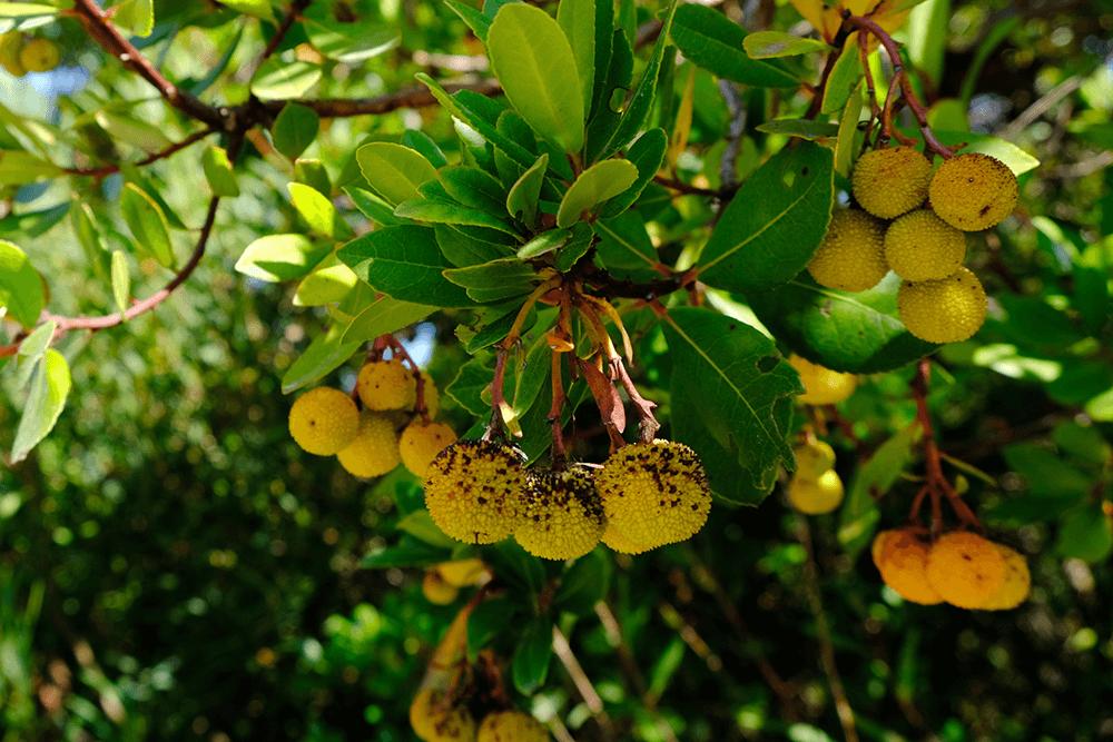 Die Frucht des Erdbeerbaums, aus dem in der Region Schnaps gebrannt wird.