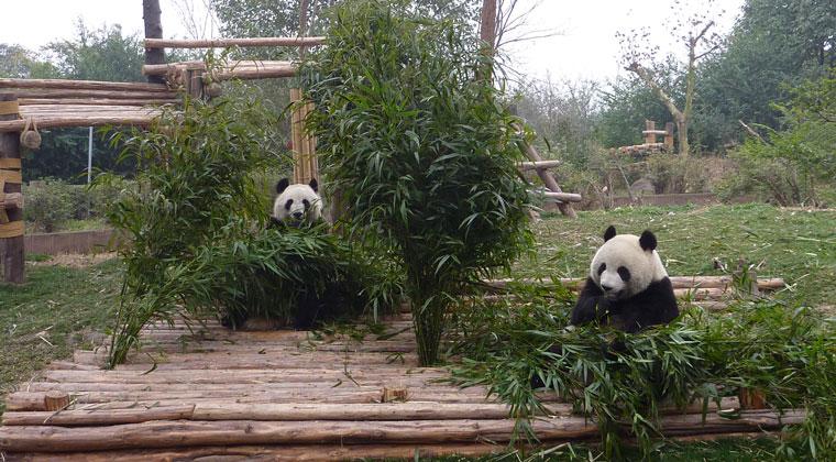 Pandas bei ihrer Lieblingsbeschäftigung: Essen