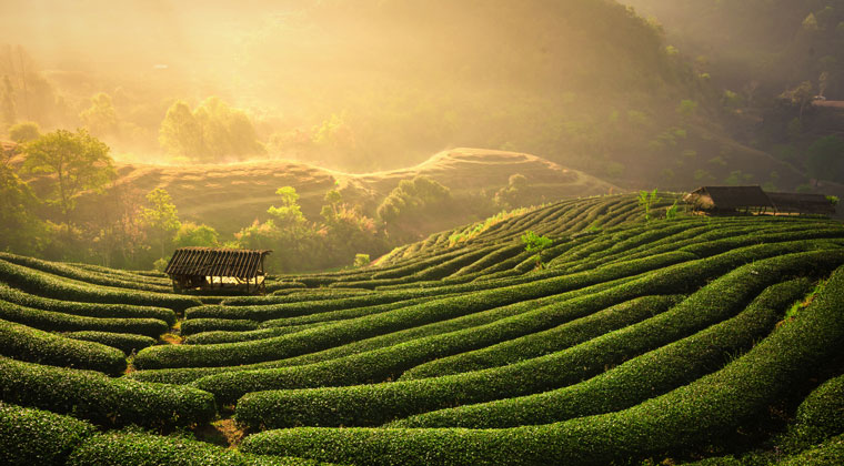 Teeplantage in China