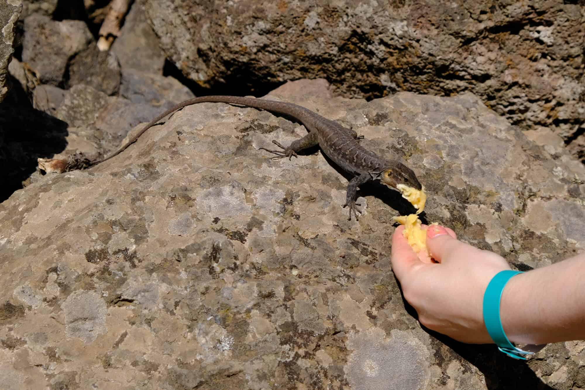 Wandern auf den Kanaren: Eidechse wird mit Bananen gefüttert