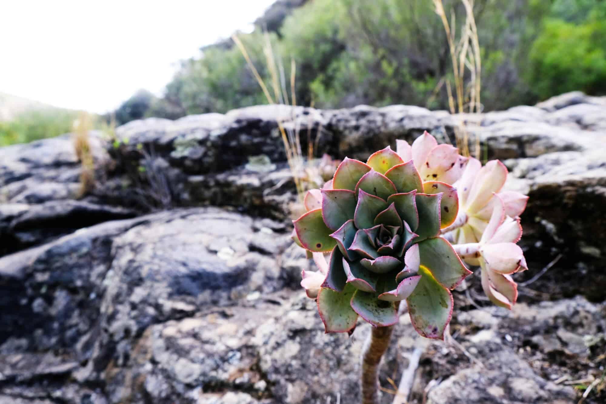 """Flora am Wegesrand auf Gran Canaria """"Cascadas Magicas"""""""