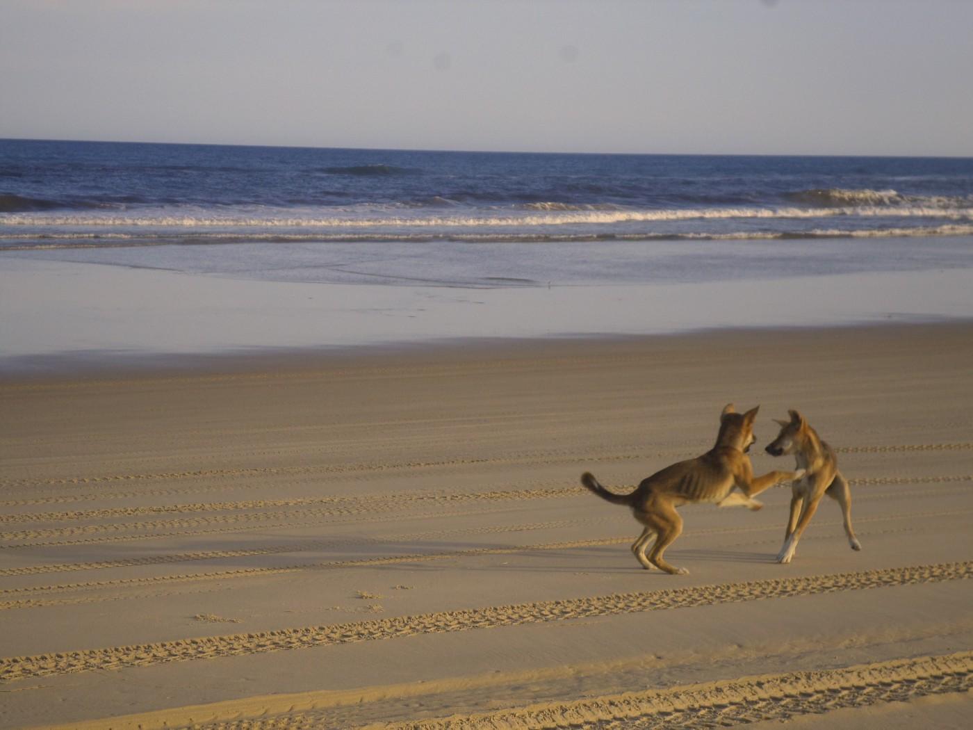 Dingos Strand Fraser Island