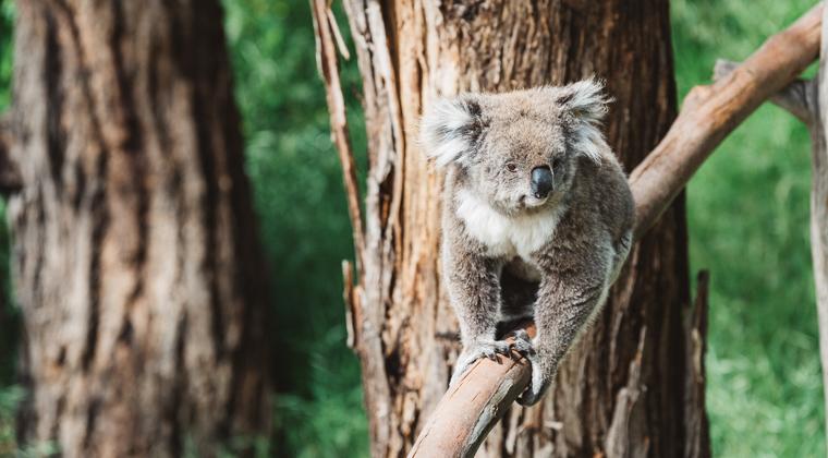 Koala auf Phillip Island