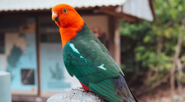Papagei im Murramarang Nationalpark