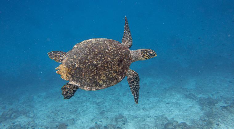 Meeresschildkröte Malediven