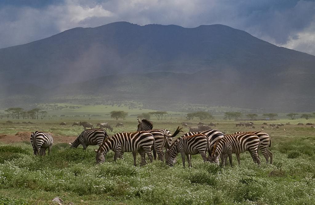 Zebras grasen am Ngorongoro Krater