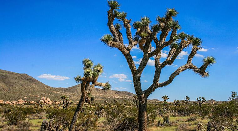 Joshua-Tree-Nationalpark,