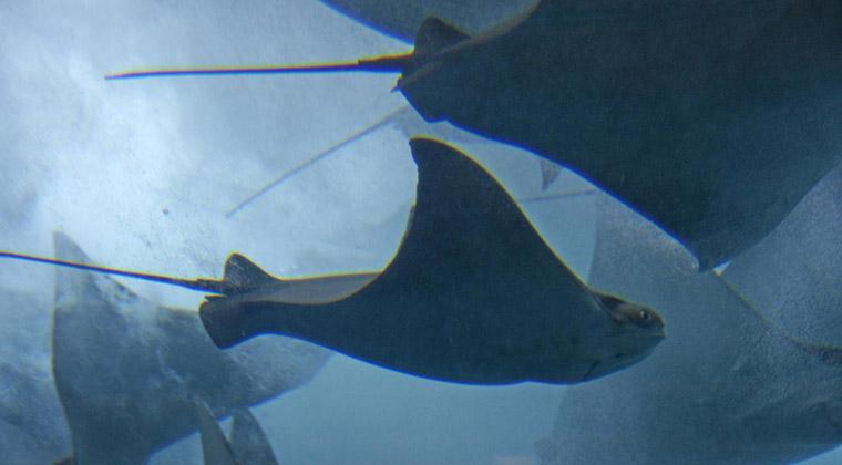 """Wie in abstraktes Gemälde: als ob die Mantarochen hinter der Scheibe des """"Dubai Aquariums"""" mitten im Shopping-Tempel tanzen"""
