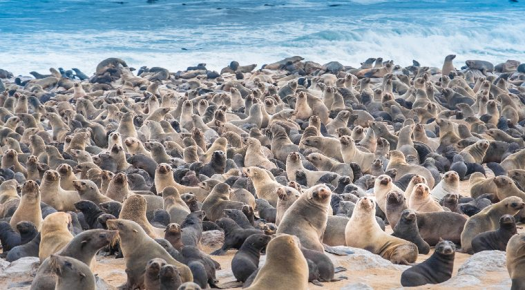 Robben am Ufer des Cape Cross