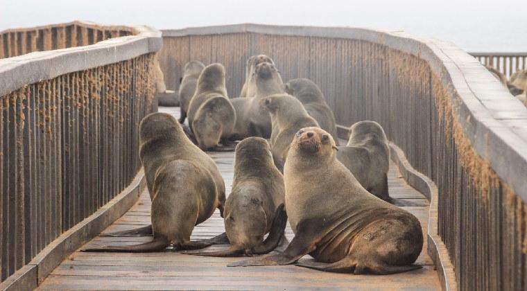 Robben auf einem Holzsteg