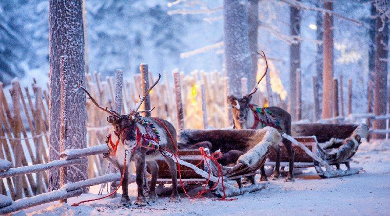 Rentiere mit Schlitten in Finnland