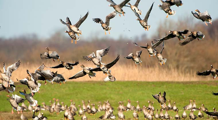 Vögel in Lauwersmeer