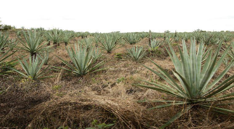 Mexiko Henequen Feld