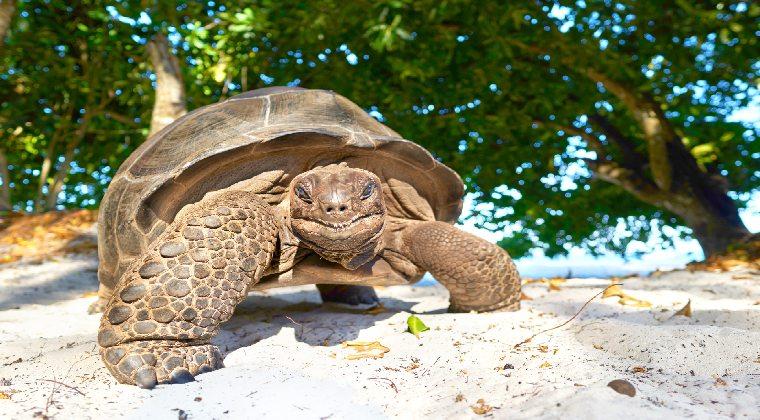 Seychellen Inselhopping Riesenschildkröte
