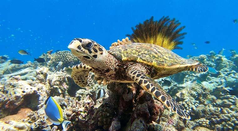Wasserschildkröte Malediven