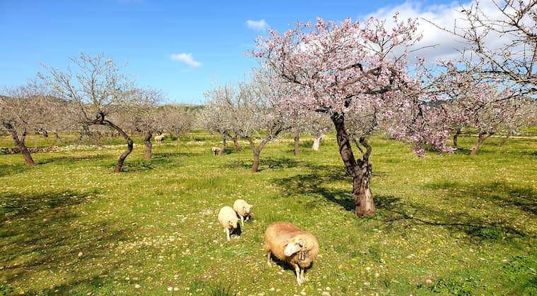 Schafe und Mandelbäume