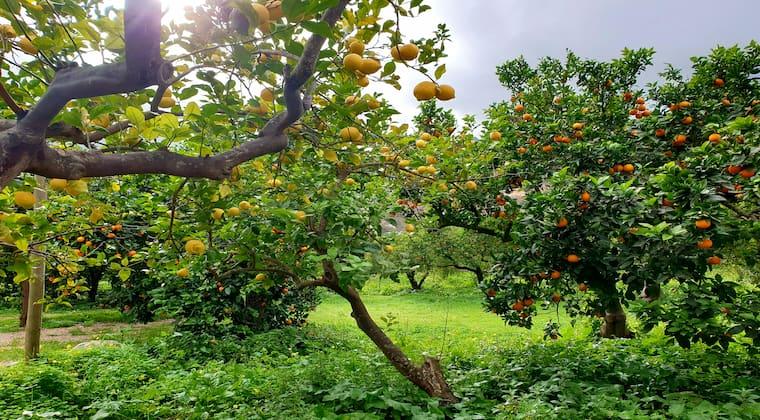 Orangen und Zitronen in Soller Mallorca