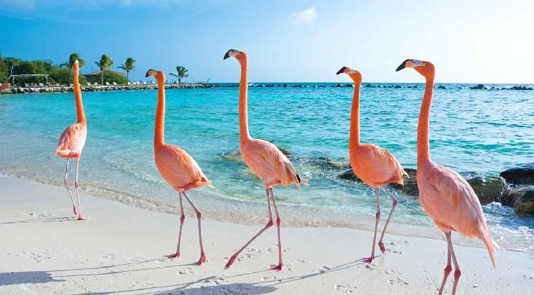 flamingo beach aruba Flamingos am Strand