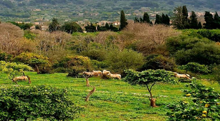 Wandern auf Mallorca Schafe