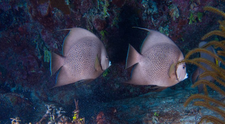 Jardines De La Reina auf Kuba Fische