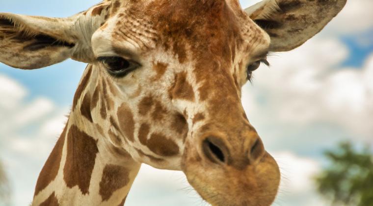 Freizeitparks USA Giraffe im Bush Garden Tampa