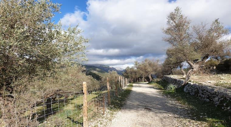 Mallorca Wandern Olivenhaine