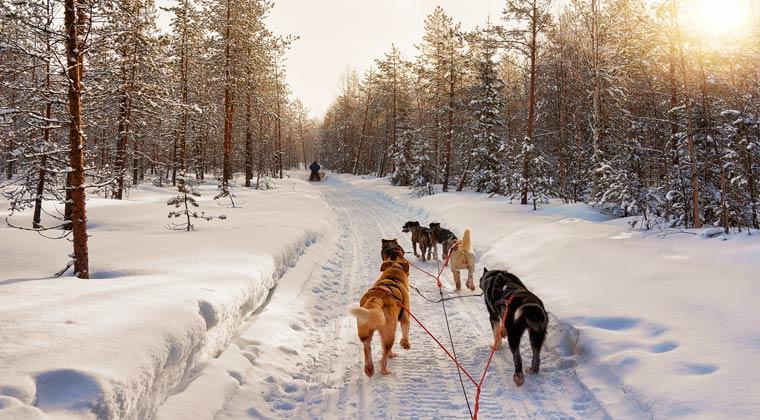Husky Hunde in Rovaniemi Lappland