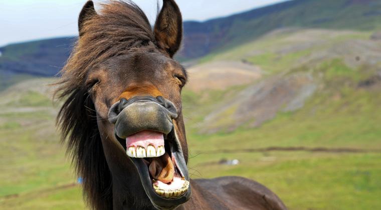 Isländische Pferde lächeln!