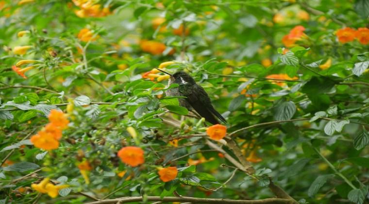 Boquete Panama Vogel