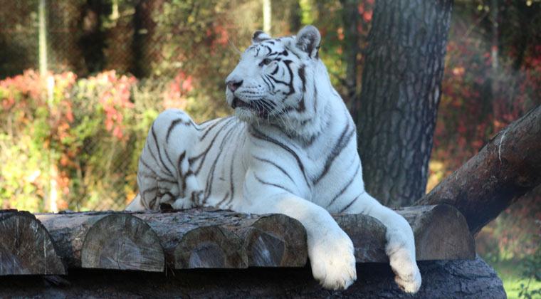 Serengeti Park Hodenhagen weißer Tiger